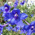 butterfly blue delphinium flowers pic 2 , 6 Blue Butterfly Delphinium In Plants Category