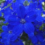 butterfly blue delphinium flowers pic 3 , 6 Blue Butterfly Delphinium In Plants Category