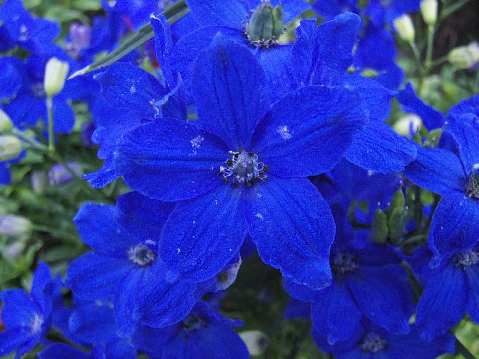 Butterfly Blue Delphinium Flowers Pic 3 : 6 Blue Butterfly ...