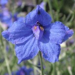 butterfly blue delphinium flowers pic 6 , 6 Blue Butterfly Delphinium In Plants Category