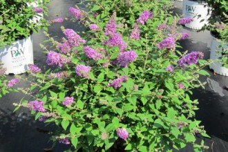 Butterfly Bush Lo And Behold Blue Chip , 6 Lo And Behold Blue Chip Butterfly Bush In Plants Category