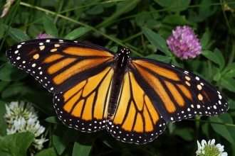 butterfly monarch image in Dog