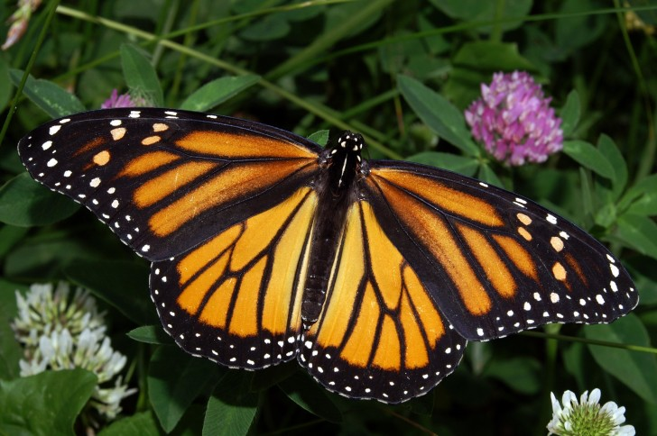 Butterfly , 6 Monarch Butterfly Images : Butterfly Monarch Image
