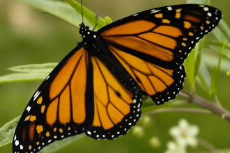 butterfly monarch picture in Primates