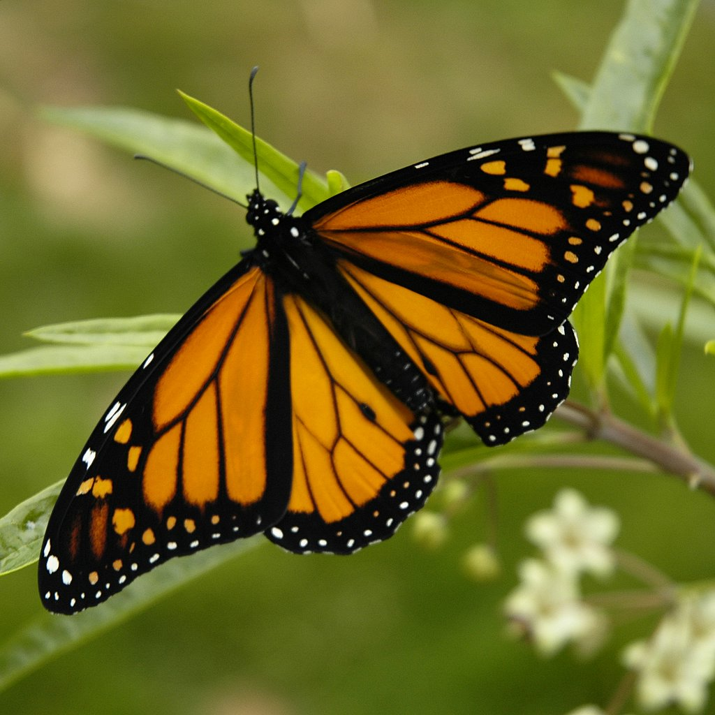 butterfly monarch picture