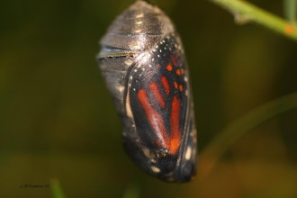 Butterfly Polyxenes Butterfly Inside The Pupa , 7 Monarch Butterfly Pupa Photos In Butterfly Category