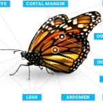 butterfly to label body parts , 5 Pictures Of Monarch Butterfly Body Parts In Butterfly Category