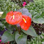 caladium tropical rainforest plant species , 8 Pictures Of Tropical Rainforest Pictures Of Plants In Plants Category