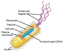 Capsule Prokaryotic Cell , 7 Prokaryotic Cell Pictures In Cell Category