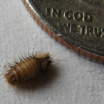 carpet beetle larvae , 6 Bed Bug Larvae Photos In Bug Category