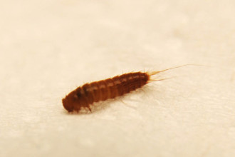 Carpet Beetle Larvae Photos , 6 Bed Bug Larvae Photos In Bug Category
