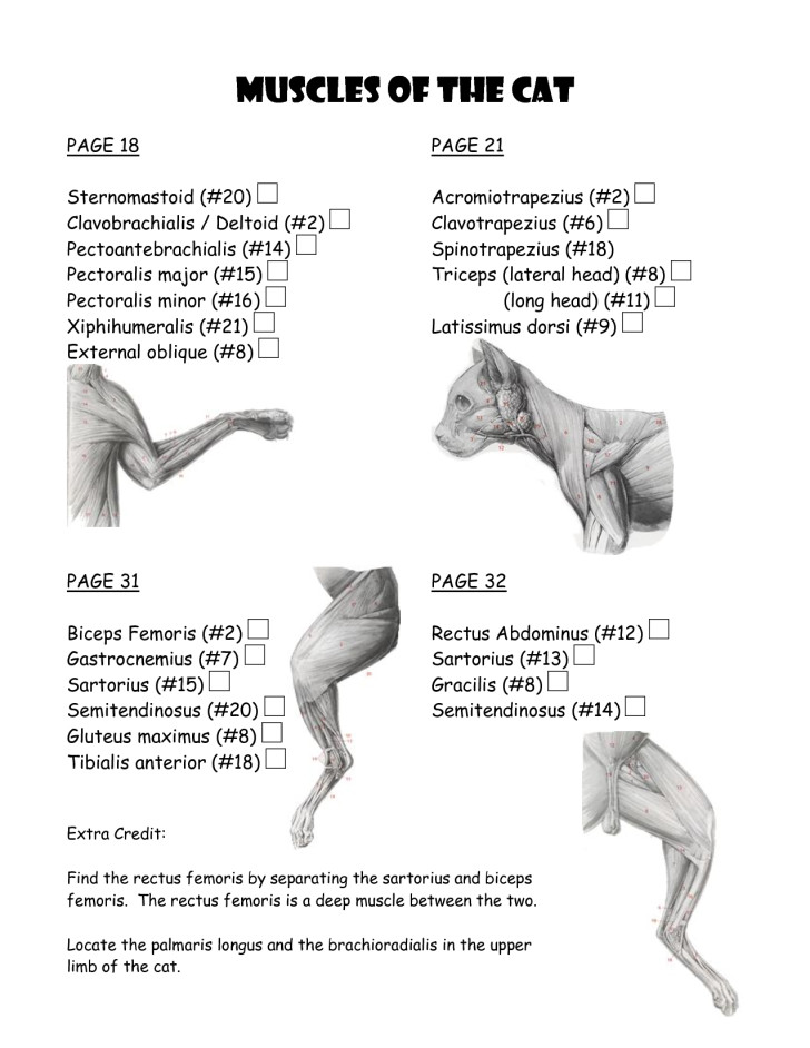 Muscles , 5 Cat Muscle Anatomy Diagram : Cat Muscle Work Template