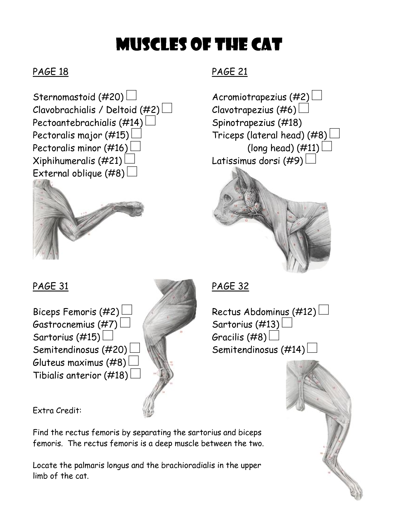 Cat Muscle Work Template 5 Cat Muscle Anatomy Diagram – Muscle Chart Template
