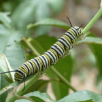 caterpillar of nymphalidae , 8 Monarch Butterfly Caterpillar In Butterfly Category
