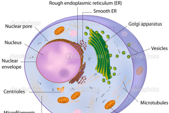 Cells Cross Section Of An Animal Cell , 3 Cross Section Of An Animal Cell In Cell Category
