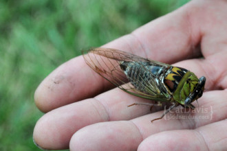 cicada-bug-image in Dog