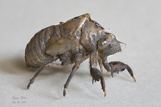 Cicada Bug Kill , 6 Cicada Bug Pictures In Bug Category