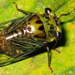 cicada bugs picture , 6 Cicada Bug Pictures In Bug Category