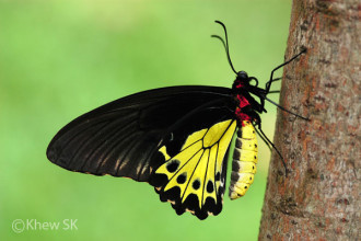 Common Birdwing Behaviour , 6 Common Birdwing Butterfly Pictures In Butterfly Category