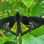 common birdwing butterfly , 6 Common Birdwing Butterfly Pictures In Butterfly Category
