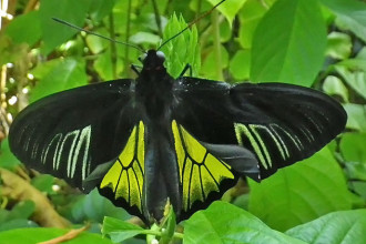 common birdwing butterfly in Plants