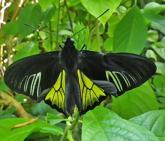 Butterfly , 6 Common Birdwing Butterfly Pictures : Common Birdwing Butterfly