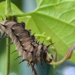 common birdwing caterpillar , 7 Common Birdwing Caterpillar Photos In Butterfly Category
