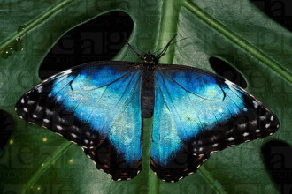 Common Blue Morpho Butterfly Pictures , 7 Blue Morpho Butterfly Facts In Butterfly Category