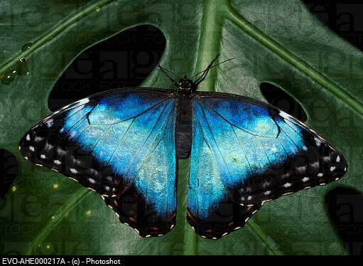 Butterfly , 7 Blue Morpho Butterfly Facts : Common Blue Morpho Butterfly Pictures