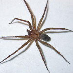 commons Brown Recluse Spider , 8 Brown Reclus Spider Photos In Spider Category