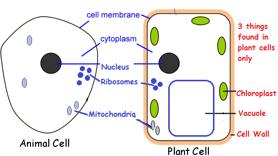 Image result for human and plant cells