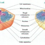 comparing animal and plant cells , 5 Plant And Animal Cell Comparison Images In Cell Category