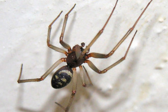 Cupboard Spider Brown House , 10 Brown House Spider In Spider Category
