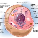 cytoplasm in an animal cell , 4 Cytoplasm In Animal Cell Pictures In Cell Category