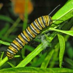 danaus plexippus caterpillar , 8 Monarch Butterfly Caterpillar In Butterfly Category