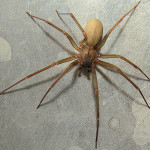 deadly and aggressive Brown Recluse Spiders , 8 Brown Reclus Spider Photos In Spider Category
