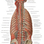 deep muscles of back , 7 Deep Muscles Of Back Anatomy In Muscles Category