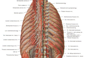 deep muscles of back in Cell