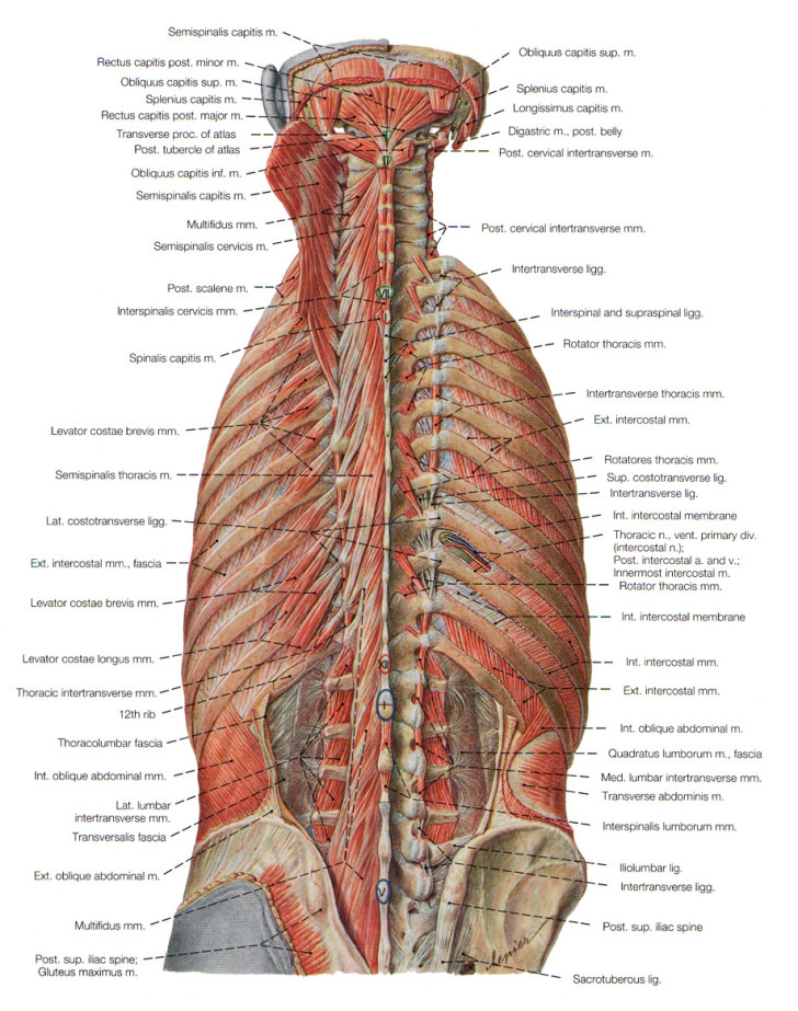 Muscles , 7 Deep Muscles Of Back Anatomy : Deep Muscles Of Back