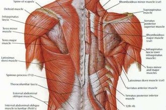 Deep Muscles Of Back Anatomy , 7 Deep Muscles Of Back Anatomy In Muscles Category