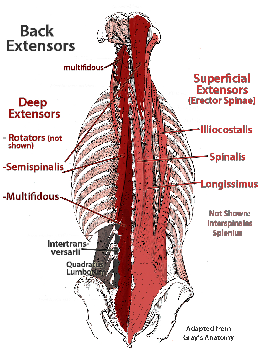Deep Muscles Of Lower Back Biological Science Picture Directory