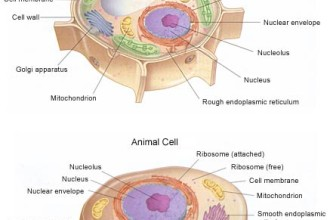 Plant And Animal Cell Picture , Plant And Animal Cell Pictures With Labels In Cell Category