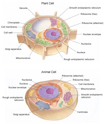 Fantastic animal cell pictures with labels photos anatomy and plant and animal cell picture plant and animal cell pictures with ccuart Image collections