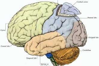 diagram of the human brain parts 3 in Laboratory