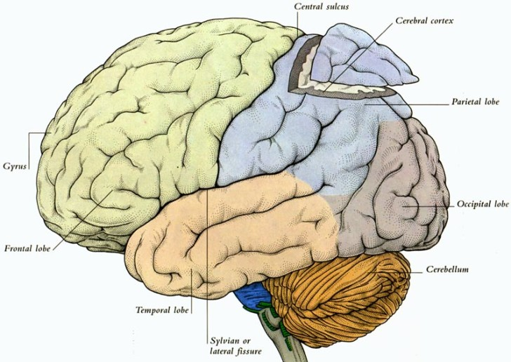 Brain , 7 Diagram Of The Human Brain : Diagram Of The Human Brain Parts 3