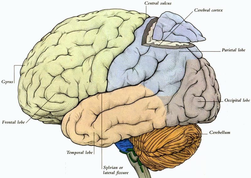 diagram of the human brain parts 3