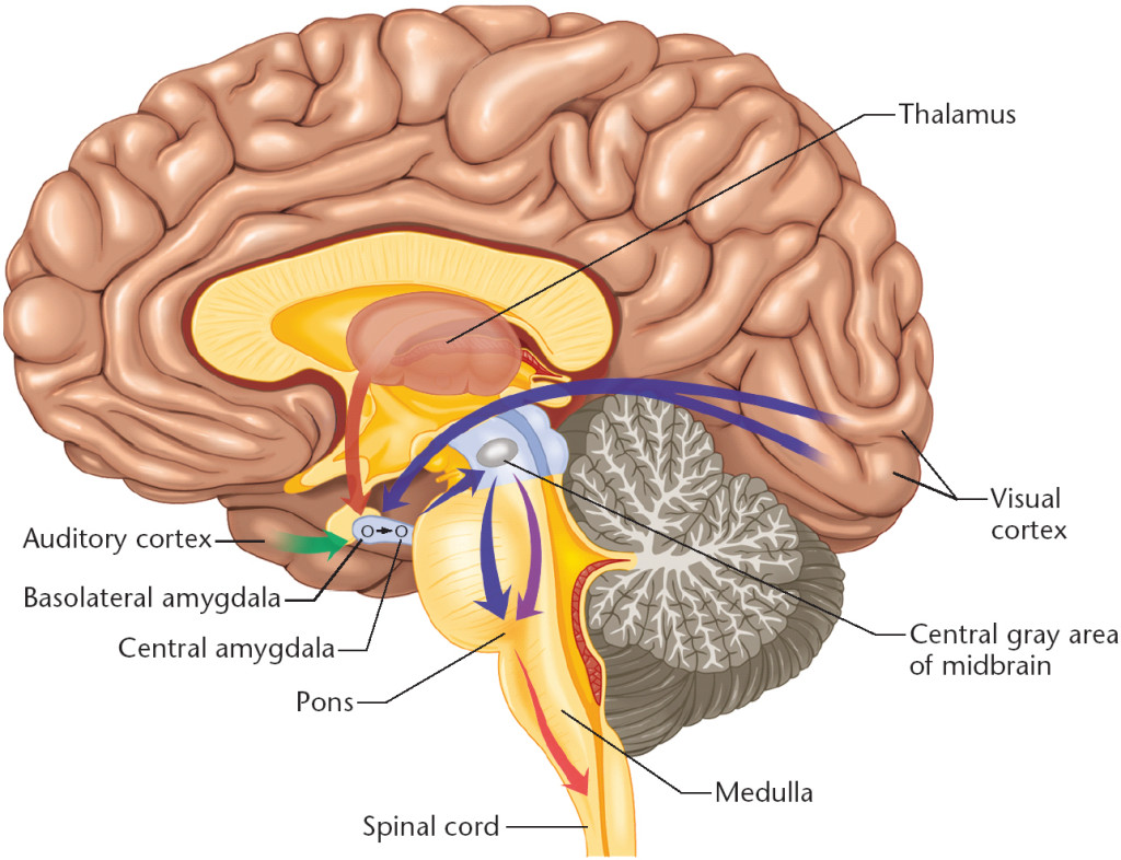 Diagram Of The Human Brain Parts 5   Biological Science