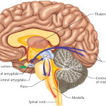 diagram of the human brain parts 5 , 7 Diagram Of The Human Brain In Brain Category