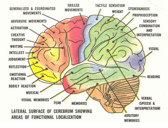 diagram of the human brain parts 6 : Biological Science ...