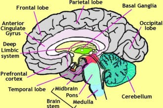 diagram of the human brain parts 4 : Biological Science ...